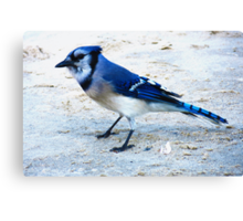 Blue Jay on The Beach Canvas Print