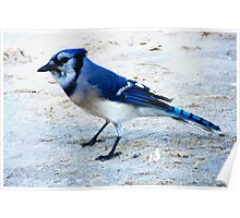 Blue Jay on The Beach Poster