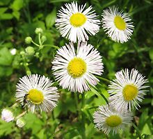 English Daisies by MSRowe Art and Design
