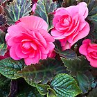 Begonia Beauty  by Sandra Foster