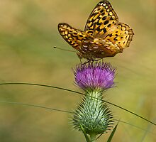 Great Spangled Fritillary On A Thistle Flower 2 by Thomas Young