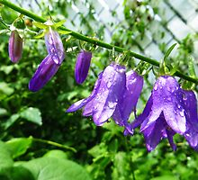 Creeping Purple Bellflower by SRowe Art