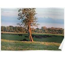 cattle grazing and resting at sunset Poster