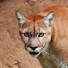 Cougar (Puma Concolor) by NickVerburgt