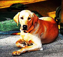 Yellow Lab in Storefront--Cherry Creek, CO by Kim Krause