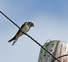 Barn Swallow on Wire by Sue Robinson