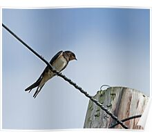 Barn Swallow on Wire Poster