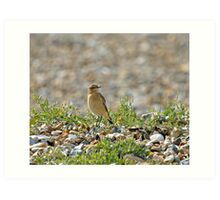 Northern Wheatear on Migration Art Print