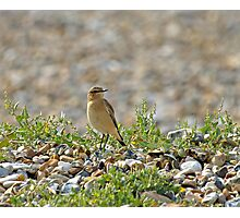 Northern Wheatear on Migration Photographic Print
