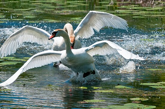 Mute Swans by Michael Cummings