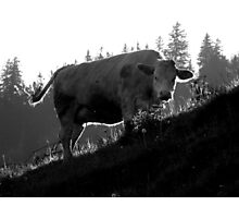 Morning with a Swiss Cow Photographic Print