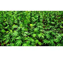 Marijuana (Weed) Photographic Print