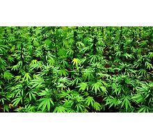 Marijuana (Weed) Photographic Print