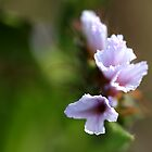 Namaqualand flower by fourthangel