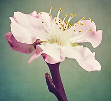 Peach blossom by JustePixx