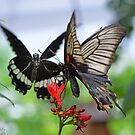 Asian Swallowtails by Tracy Deptuck