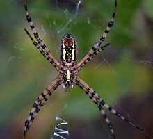 Skinny Garden Spider by Tracy Deptuck