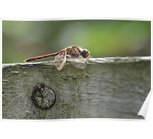 Dragonfly at rest in Scotland Poster