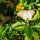 White Peacock Butterfly by Ginny Schmidt