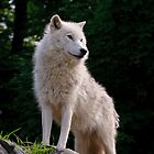 Arctic Wolf - The White Ghost Of The North 2 by WolvesOnly