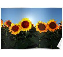 Very Sunny Sunflower Poster