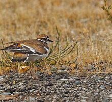 KILLDEER by Sandy Stewart