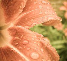 Orange Lily  by amandavs