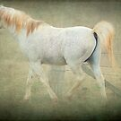 Arab Stallion by Clare Colins