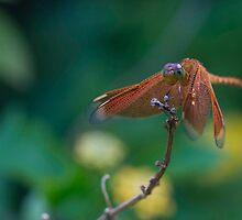 Dragonfly by Novellaphotog
