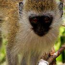 Young Vervet Monkey, (CERCOPITHECUS PYGERYTHRUS),Terengeri  NP Tanzania by john  Lenagan