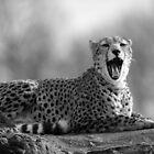 Cheetah (Acinonyx jubatus) by ChrisMillsPhoto