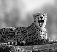 Cheetah (Acinonyx jubatus) by ChrisMillsPhoto