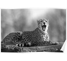 Cheetah (Acinonyx jubatus) Poster