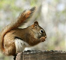 Red Squirrel Eating Sunflower Seeds by rhamm