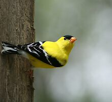 American Goldfinch Alert and Watching by rhamm