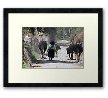 Herding Cows in Cotacachi Framed Print