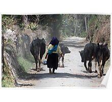 Herding Cows in Cotacachi Poster