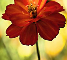Coreopsis - In a Soft Morning Light by T.J. Martin