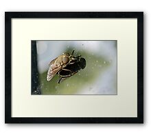 Fly on a Windscreen Framed Print
