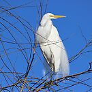 A large Egret by SANDRA BROWN