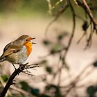 Robin Singing on a Branch by Nick Jenkins