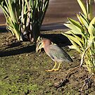 A Green Winged Heron by SANDRA BROWN