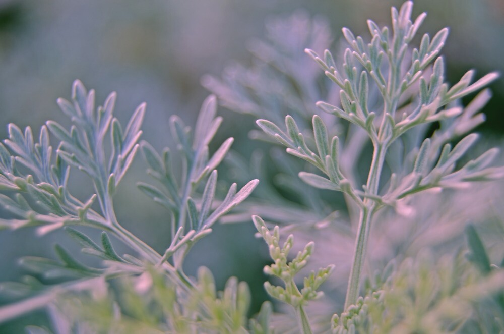 Silvery Green by photojeanic