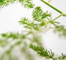 Asparagus Fern by photojeanic