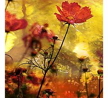 Cosmea  (Abstract Red) Photographic Print