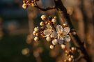 Plum Blossoms by Deborah McGrath
