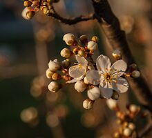 Plum Blossoms by Deborah McGrath