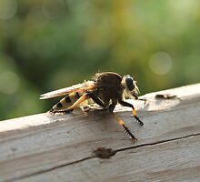 Robber Fly by Kelly Morris