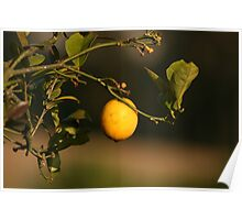 Lemon Hanging From a Branch Poster