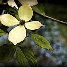 Dogwood in Watercolor by Linda  Makiej